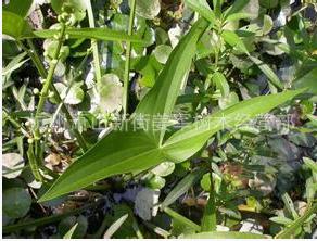 野慈菇 水生植物 草花地被 大量供应 批发价格