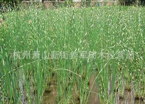 花叶水葱 水生植物 基地直销 水菖蒲 品种齐全 量大优惠