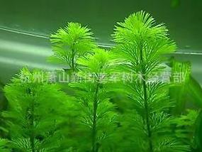 金鱼藻 水生植物 浮床植物 水生鸢尾 铺位 品种齐全