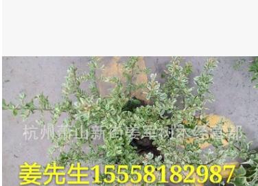 小丑火棘 盆栽 小丑火棘球 基地直销 各种规格 品种齐全