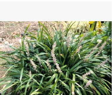 阔叶麦冬 基地直销供应 量大优惠 金边麦冬 银边麦冬 各种品种