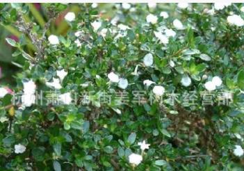 六月雪 基地直销 地栽盆栽 品种齐全 量大优惠