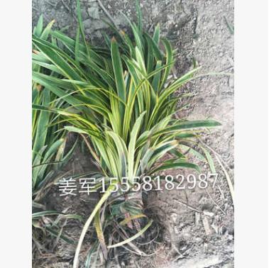 金边麦冬 各种草花 基地直销 各种规格 品种齐全 价格优惠