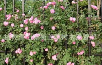 蔷薇月季 爬藤植物 基地直销 藤本月季 丰花月季 量大优惠