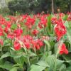 美人蕉 水生植物 基地直销 各种规格 品种齐全 量大优惠