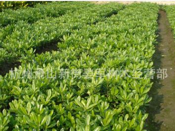 海桐 地栽 盆栽 各种规格 基地直销 海桐球 大量供应