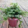 常春藤 植物类 公园 别墅设计 爬藤植物 基地直销 量大优惠