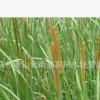 香蒲 水生植物 基地供应 蒲苇 醉鱼草 品种齐全