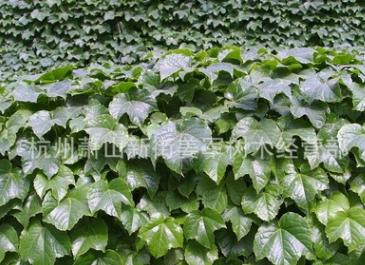 爬山虎 公园别墅 属于爬藤植物 基地直销 量大优惠