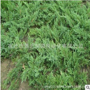 批发地柏苗 园林绿化苗木 四季常青行道色块绿篱 量大从优 地柏苗