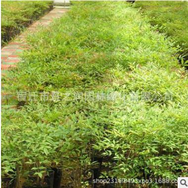 基地批发南天竹小苗 园林绿化苗木 庭院盆栽 量大从优 南天竹小苗