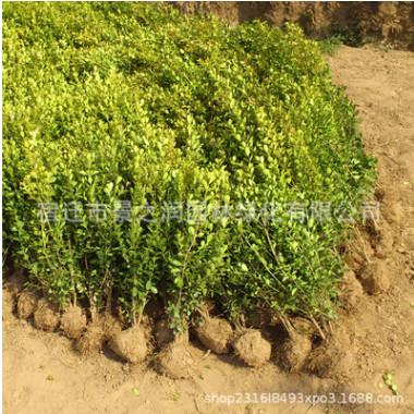 基地批发瓜子黄杨苗绿化苗木行道绿篱庭院观叶植物量大从优黄杨苗