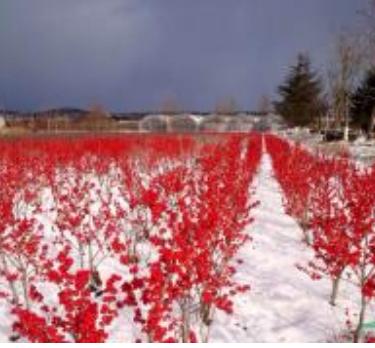北美冬青雪