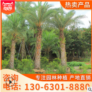福建银海枣 专业种植美化环境 基地直销批发价格供应