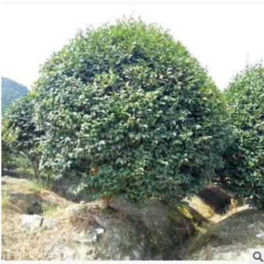 直销园林绿化工程 茶梅球色块毛球