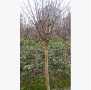 基地直销各种规格工程绿化 红火箭紫薇树品种齐全大量供应