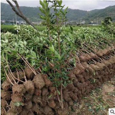 工程绿化夹竹桃植物篱笆色块球型萧山基地直销一站式采购