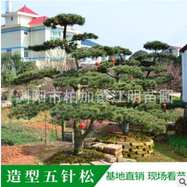 园林景观 造型五针松 树形优美 现场选树 基地直销