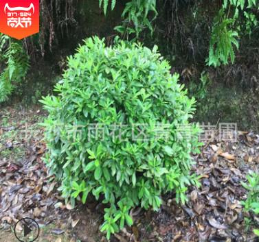湖南基地大量生产精品杜鹃 映山红 杜鹃球 规格齐全 量大价优