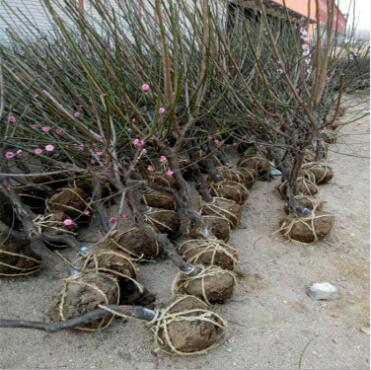 批发原生红梅苗榆叶梅紫叶绿梅浓香型花卉南北方庭院室内植物耐寒