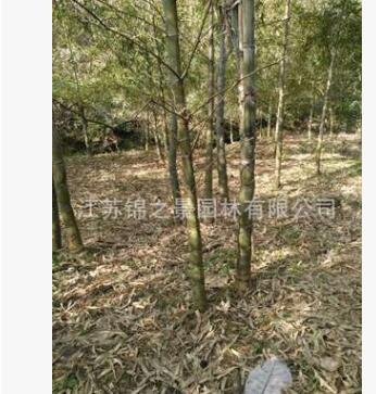 龟甲竹苗批发园林竹子植物 工程绿化 罗汉竹庭院景观龟背竹盆景