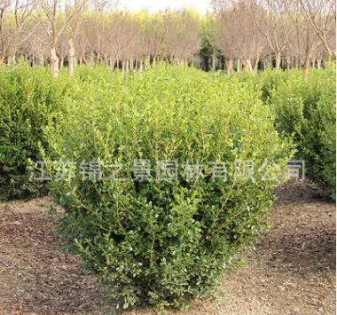 小叶黄杨球基地批发工程绿化苗木瓜子黄杨 常绿灌木小叶黄杨苗