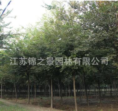 榉树树苗批发工程绿化苗木街道庭荫防护红榉树苗