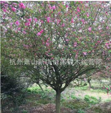 垂丝海棠 基地直销 大量供应 各种规格 行道树常绿乔木 西湖海棠