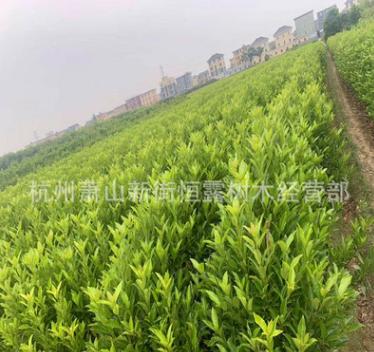 杭州 萧山 青珊瑚 基地 直销 园林采购 工程 法国冬青 大量批发