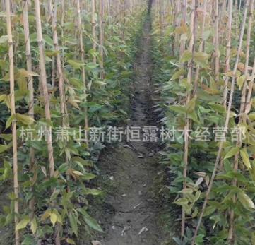 常青油麻藤 耐寒耐旱 爬腾植物 绿化 植物 净化空气 量大优惠