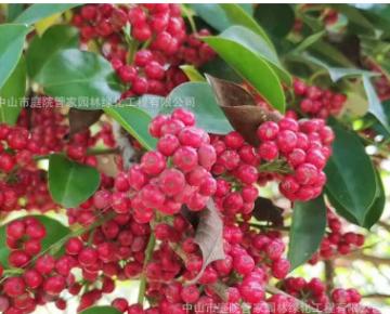 庭园观果造型观果常绿白银树 即叫红果冬青又叫铁冬青