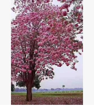 粉花风铃木15-22分假植苗多花行道树洋红枫铃木中山苗圃直销
