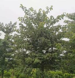 樱花木棉18-20cm楼盘风景树大腹木棉移植苗中山基地直销大福木棉