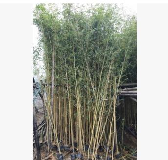 庭园绿篱植物黄金竹 例植群植皆可观赏竹子
