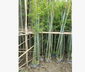 粉丹竹 庭院绿篱植物绿化工程竹子 粉单竹