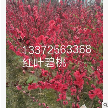 花桃 各种规格 品种齐全 红叶碧桃 基地直销 量多优惠