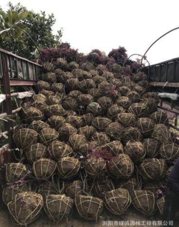 红花继木球 红桎木球 苗木基地 直销 绿化工程 毛球 精球