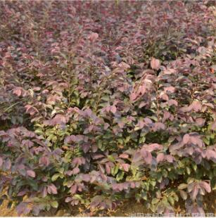 红花继木小苗红桎木小苗湖南苗木基地直销绿化工程30-50色块小苗