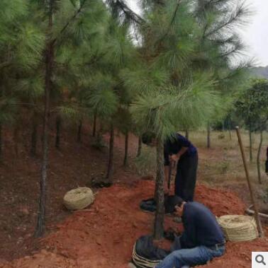 8--12公分油松 国外松 出售育林防护马尾松