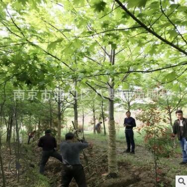 批发娜塔栎景观树 12公分娜塔栎 8-15公分娜塔栎