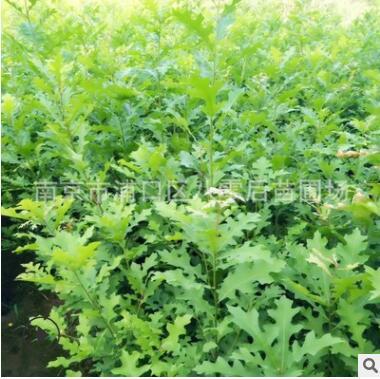 批发娜塔栎小苗 高度1-1.2-1.5米娜塔栎小苗 娜塔栎小苗大量供应