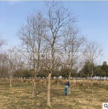 南京乌桕基地 15公分乌桕树 丛生乌桕树大量供应