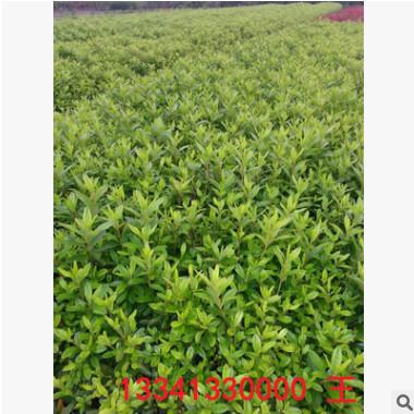 基地常年供应大量优质杜鹃小苗 苗子粗壮 存货率高 绿化工程苗