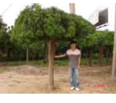 龙爪槐,栾树,马褂木