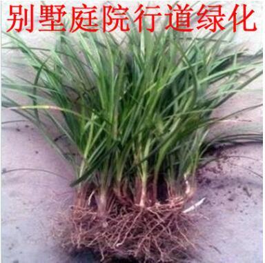 麦冬草绿化工程盆栽花卉常绿耐寒花坛植物金边麦冬 玉龙草别墅