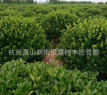 大叶黄杨球 色块 各种规格 品种齐全 量大优惠 冬青