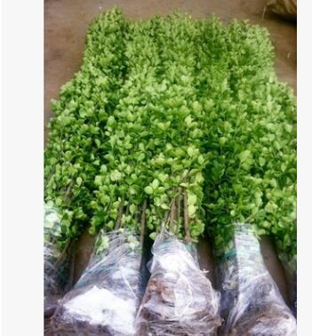 围墙篱笆植物大叶北海道黄杨冬青树四季常青耐寒庭院绿篱树别墅绿