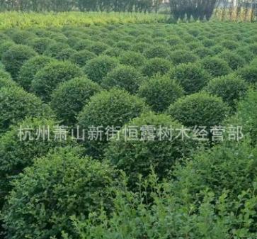 供应水腊球 水腊小 规格全 工程绿化 水蜡 园林绿化