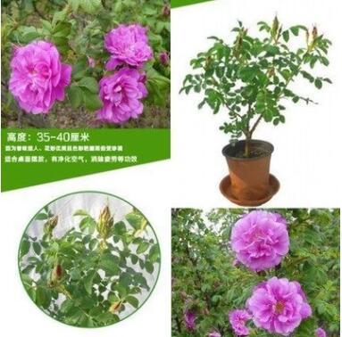 绿化庭院盆栽花卉 食用玫瑰花丰花香水玫瑰大马士革 当年开花芳香