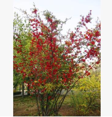 贴梗海棠花盆景室外绿植物花卉观花庭院当年开花风景树别墅美化